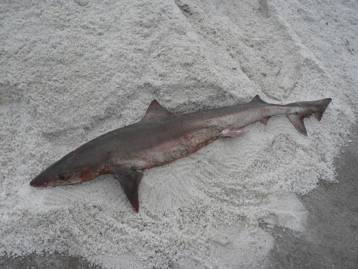 sexe nature requin du sexe
